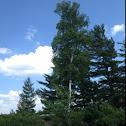 Paper birch, White birch