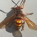 Western Cicada Killer
