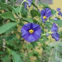 Blue potato bush (EN) Solano de flor azul (ES)