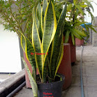 Snake Plant / Lidah Mertua / mother-in-law's tongue
