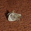 Elegant Tailed Slug Moth