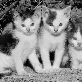 Kittens in the Wild by Bridgette Rodriguez - Black & White Animals ( cats, wild, kitten, cat, animals, nature, black and white, kittens, kitty, animal,  )