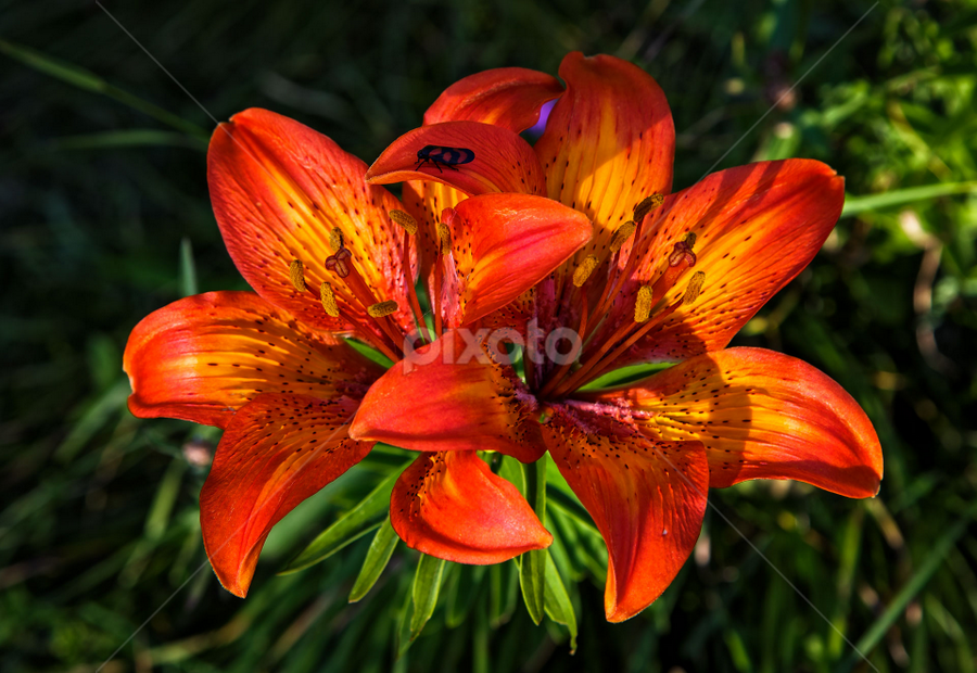 tiger lily by Stanislav Horacek - Flowers Flowers in the Wild