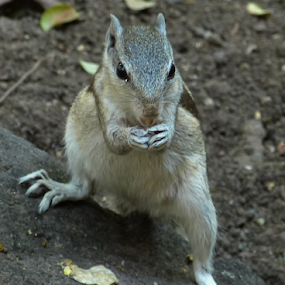 squirrel by Vaibhav Shende - Animals Other Mammals ( funny squirrel, squirrel eating food, nature, cute squirrel, chip munks,  )