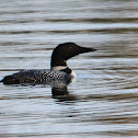 Great Northern Loon (Common Loon)