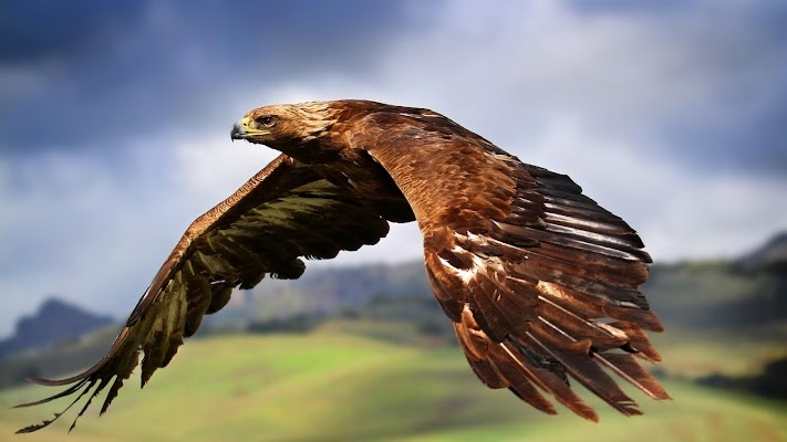 Hawk  Wallpaper - screenshot