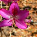Purple orchid tree