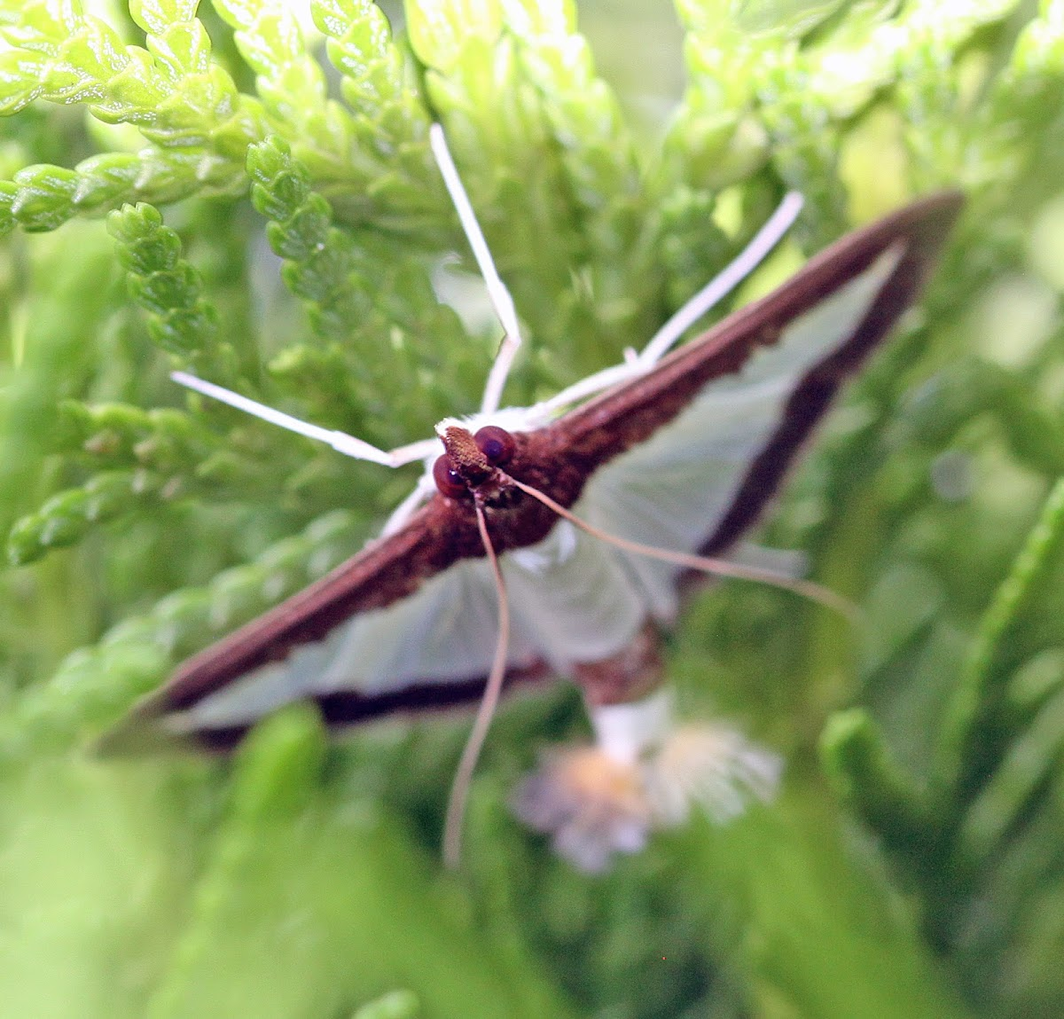Cucumber Moth or Cotton Caterpillar