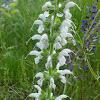 Meadow sage (albino)