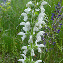 Meadow sage (albino)