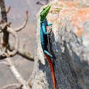 Common Flat Lizard