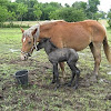 Belgian Mare with foal