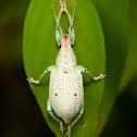 Three-toed albino weevil