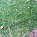 Kentucky Blue Grass