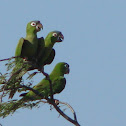 Mealy Amazon or Mealy Parrot