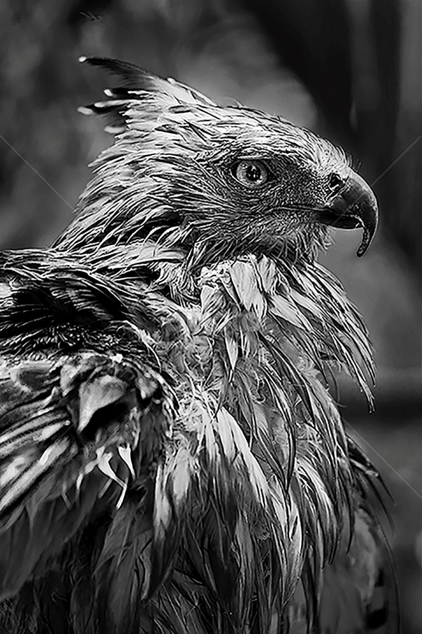 Javan Hawk Eagle by Joshua Sujasin - Black & White Animals ( bird, aves, eagle, wildlife, java,  )