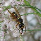 Mason wasp (male)