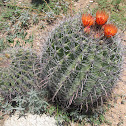 Barrel Cactus (Fishhook)
