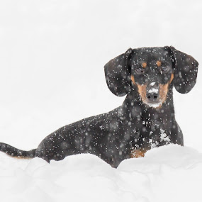 Gary dog in snow by Kim Verstringhe - Animals - Dogs Portraits ( #snow, #winter, #dachshund )