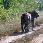 Big cat-Tiger