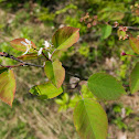 Low Serviceberry