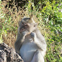 Macaque eating a crab
