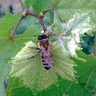 Western honey bee (westliche Honigbiene)