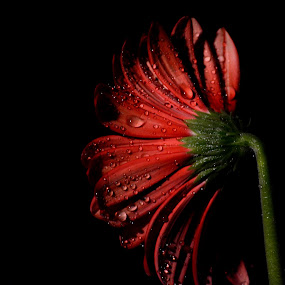 Red flower by Sathyanarayanan Shanmugam - Flowers Single Flower ( red flower,  )