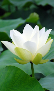 Maggic Ripple -White Lotus LWP - screenshot thumbnail