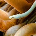 Mushroom Coral Pipefish