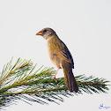 Sabiá-do-banhado (Great Pampa-Finch)