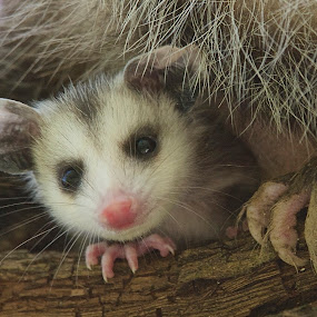 New Kid On The Block by Roy Walter - Animals Other Mammals ( opossum, other mammal, baby, possum, mammal, animal )