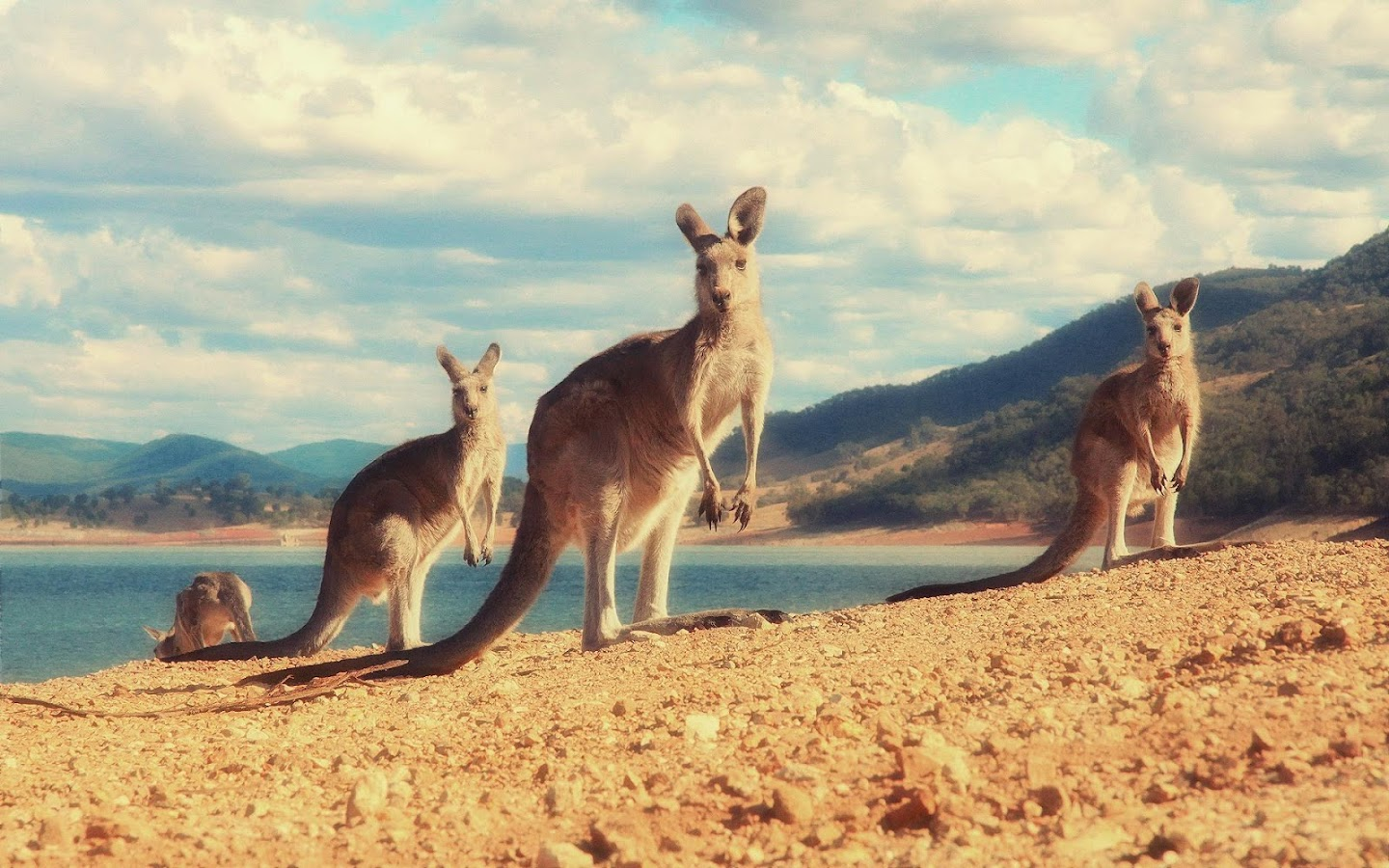 Kangaroo wallpaper android apps on google play for Home wallpaper joey s