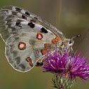 Appolo Butterfly
