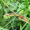 Asian grass lizard