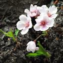 Cherry Blossom Bark
