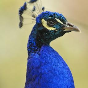 by Martin Wheeler - Animals Birds ( bird, peacocks, zoo, blue, peacock )