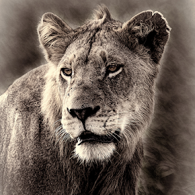 Lion portrait by Ian Damerell - Black & White Animals ( cats, predator, lion, b&w, nature, kruger park, wildlife, portrait )