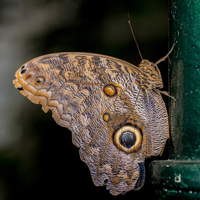 Butterfly Resting by Simon Sweetman - Animals Insects & Spiders ( butterfly, nature, fly, brown, insect,  )