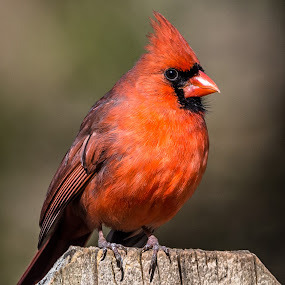 Cardinal on Fence by Mike Watts - Animals Birds ( bird )