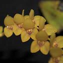 Stelis orchid