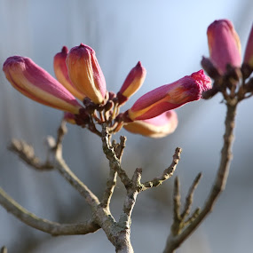 Blossoming by Jared Lantzman - Flowers Tree Blossoms ( tree, branch, pink, yellow, flower, blossom )