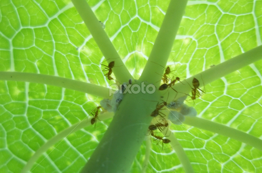 https://www.pixoto.com/images-photography/nature-up-close/leaves-and-grasses/ants-world-under-papaya-leaf-6178286520500224.jpg