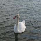 mute swan; cisne vulgar