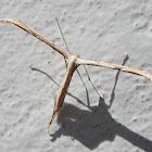 T-moth