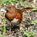 Eastern towhee, adults