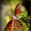 Gulf Fritillary or Passion Butterfly