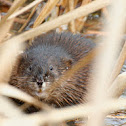 Young Beaver