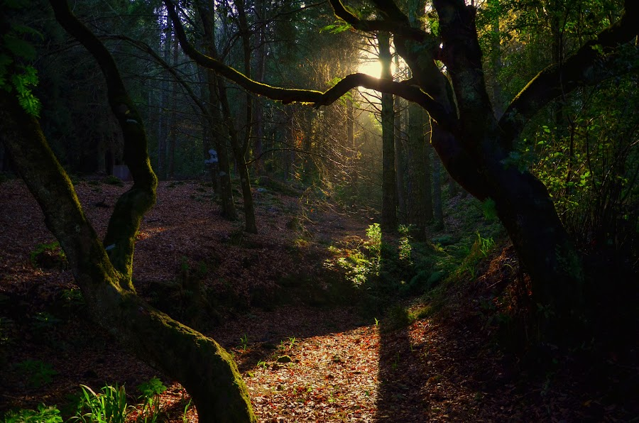 ray of light by Francisco Correia - Landscapes Forests ( ray, nature, madeira islands, light )