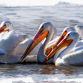 pelicans by John Kolenberg - Digital Art Animals ( hunters, mexico, lakes, pelicans, water birds, lake,  )